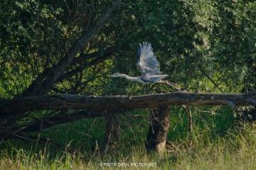 Czapla siwa w rezerwacie Wikliny Wiślane