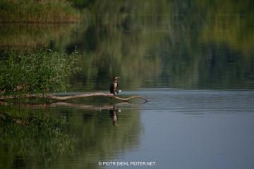 Kormoran w rezerwacie Wikliny Wiślane
