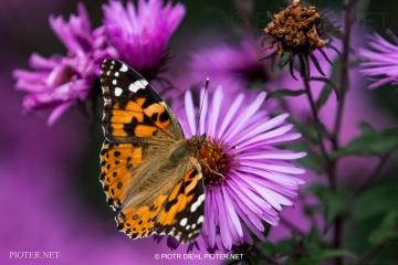 Motyl w ogrodzie.