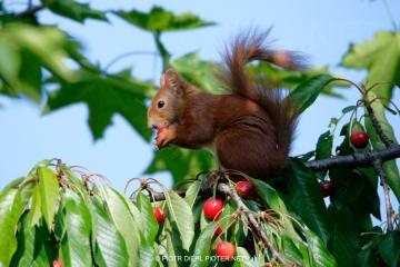 Wiewiórka na czereśni