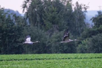 Żurawie w Smoszewie