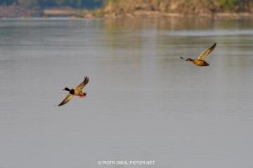 Kaczki w locie