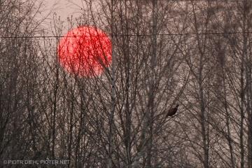 Bażant na tle zachodzącego słońca