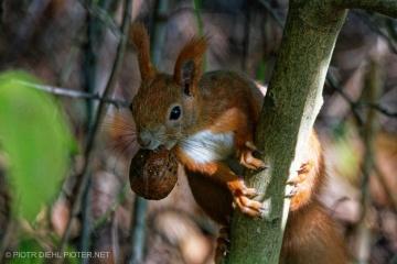 Łup wiewiórki