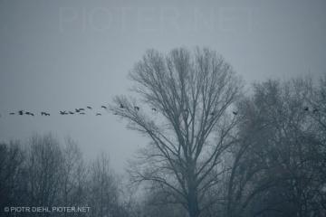 Przelot kormoranów