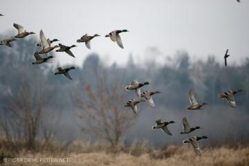 Stado kaczek w Kampinoskiej Dolinie Wisły