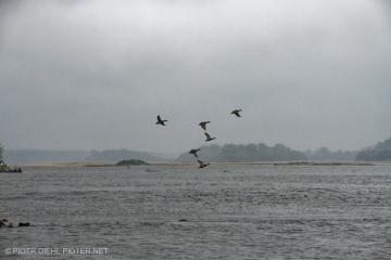 Kaczki nad Wisłą