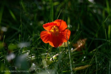 Kwiat nasturcji